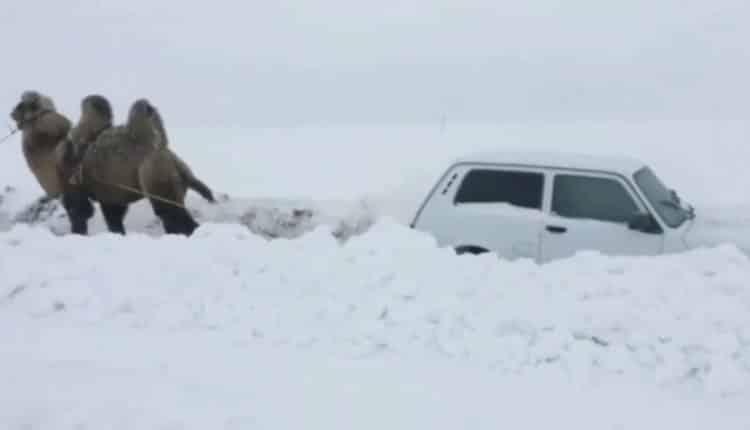 بالفيديو: جمل يسحب سيارة احتجزتها الثلوج في روسيا
